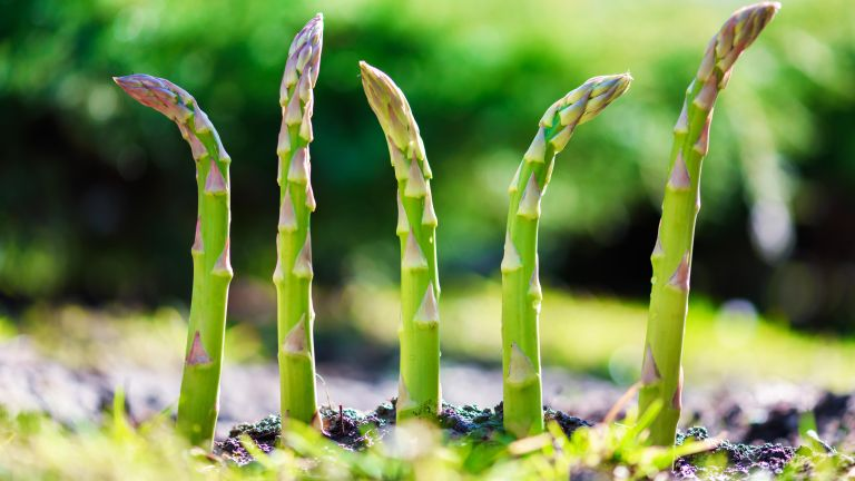 vegetables to plant in October include asparagus, to achieve ripening spears in a garden in April