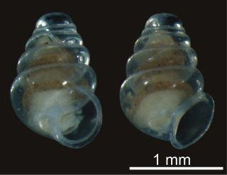 transparent snail with no eyes