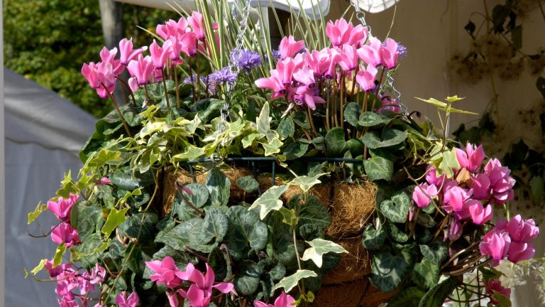 plants for winter hanging baskets showing Cyclamen Hedera and Gentian