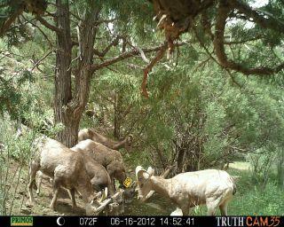 Bighorn sheep drinking