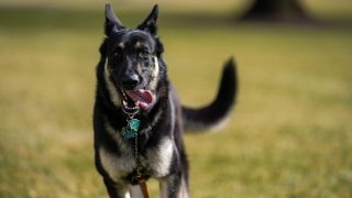Joe Biden's German Shepherd dog Major running across the lawn