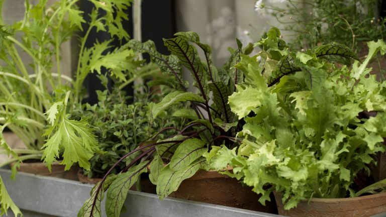 Growing lettuce in winter: Mizuna and other salad leaves