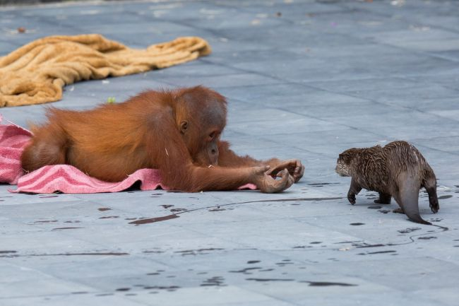an orangutan and an otter frolicking