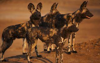 Dynasties - painted wolf