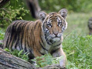 tiger-summit-cub-101116-02