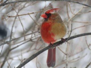 cardinal gynandromoprh
