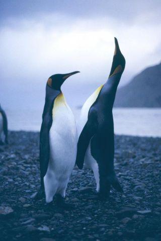 king-penguin-100910-02