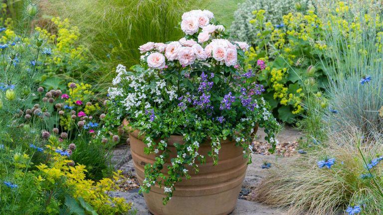 Terracotta pot planted with patio rose 'Lovely Bride', white bacopa, Lobelia 'Cambridge Blue' and mixed Nemesias.
