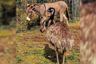 An emu and donkey at the Carolina Waterfowl Rescue have fallen in love.