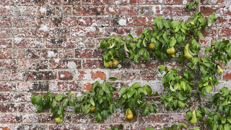 espaliered pear tree growing against an old brick wall