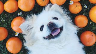 Small white dog lying on back on grass with happy expression surrounded by oranges