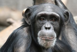 Close-up of chimpanzee face.