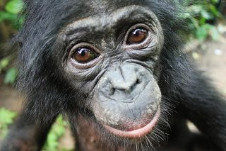 Bonobos, our close primate cousins with whom we share 99 percent of our DNA, will help strangers even when there is no immediate payback, and without having to be asked first.