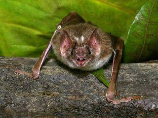 vampire bats, blood, heat sensing, infrared sensing, bats, heat, pain
