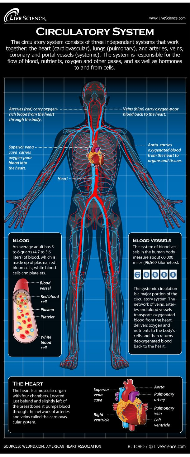 The Circulatory System: An Amazing Circuit That Keeps Our