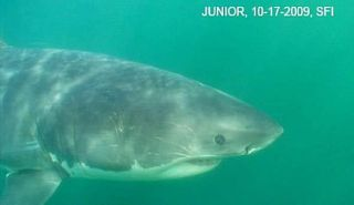 junior-shark-healthy-110415-02