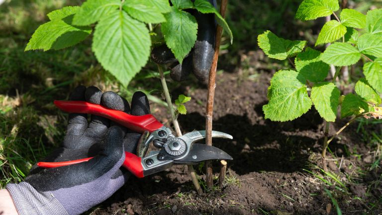 person pruning raspberries using a pair of secateurs