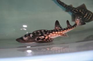 shark ray pup, Sweet Pea, captive birth