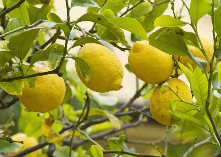 How to prune a lemon tree – lemon fruit on tree