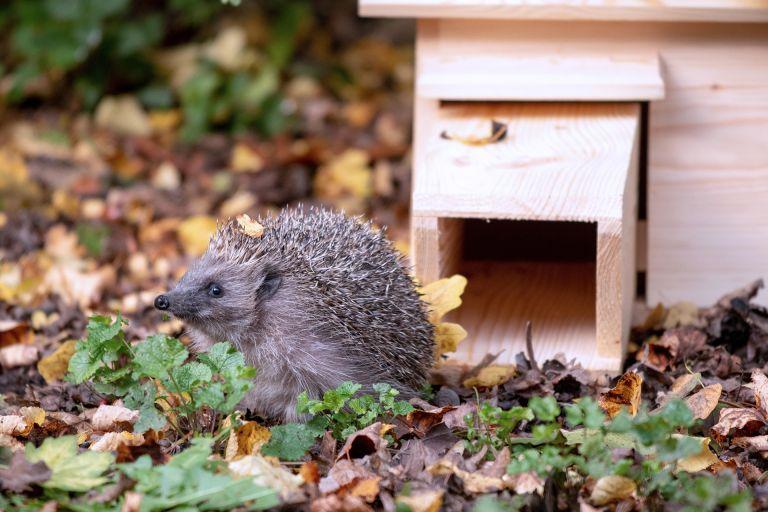 hedgehog leaving hedgehog house from national trust shop