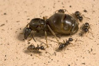 Queen Ant Will Sacrifice Colony to Retain Throne | Live Science