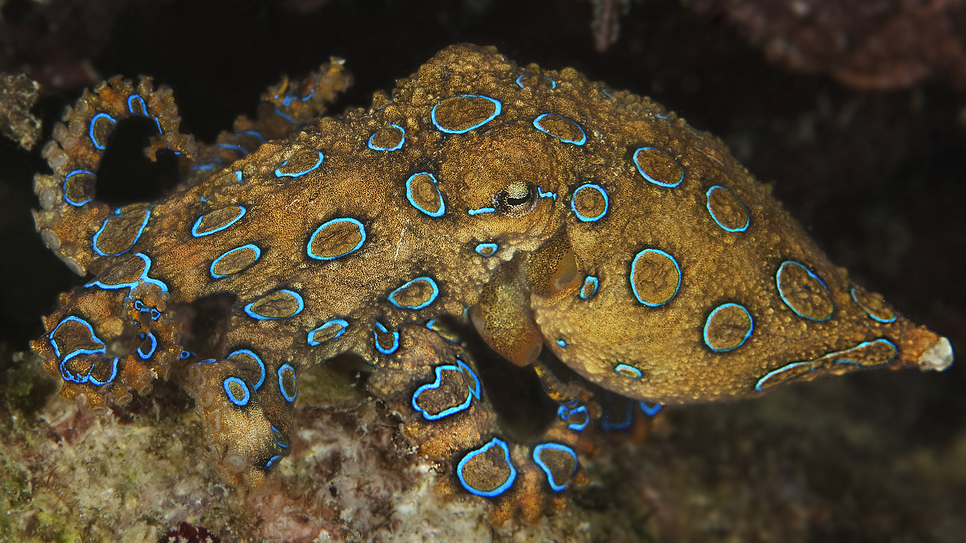 The highly venomous blue-ringed octopus.