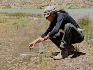Angela Detweiler collects samples of photosynthetic bacteria in the wetlands at the inlet to Laguna Lo Encañado.