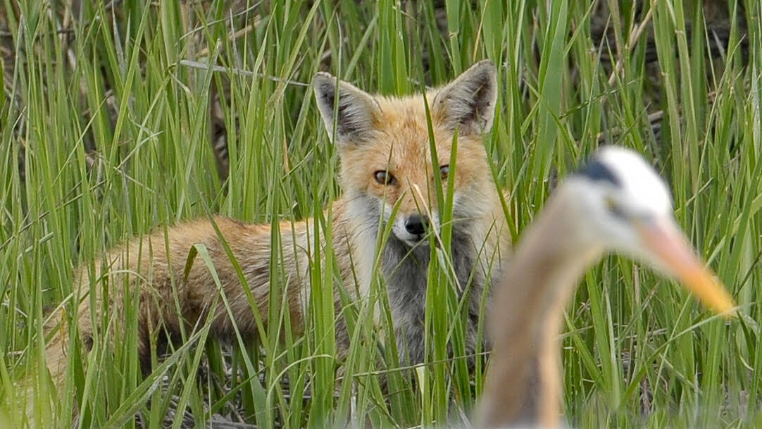 A fox followed the heron around, possibly hoping for an easy meal.
