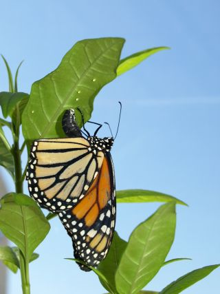 A female monarch butterfly laying eggs on tropical milkweed.