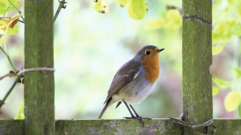 British birds lost: robin in a garden