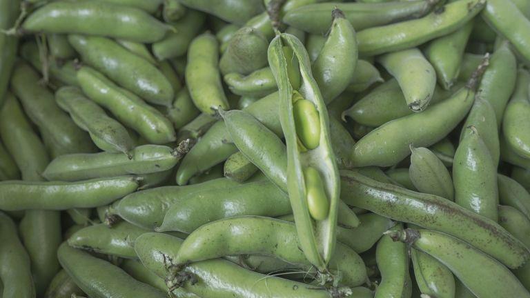 Harvested fava bean pods