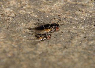 Two houseflies having sex