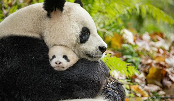 Pandas hugging in Born in China