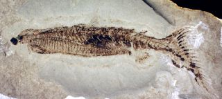 A fossil of euphanerops