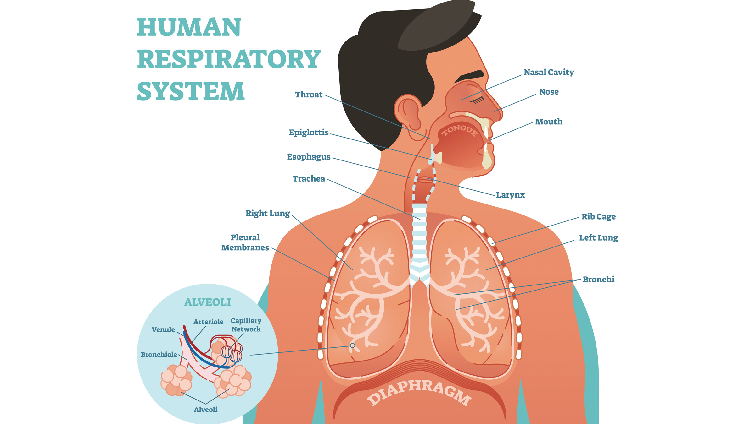 Diagram of the human respiratory system