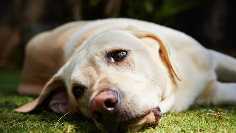 The YouTube channel to help anxious pets: Labrador retriever is lying on the grass