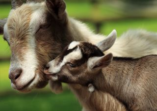 A baby goat nuzzles his mom.