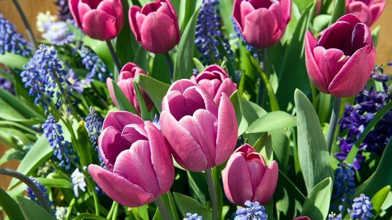 a bulb lasagne featuring tulips, hyacinth and muscari bulbs