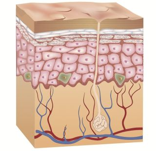 The skin's inner layer, called the dermis, contains blood vessels, nerve endings, sweat glands and hair follicles.