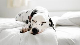 Bed bugs on dogs: Dalmatian dog lying on bed