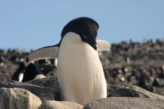 Adélie penguins like this one feed mainly on krill.