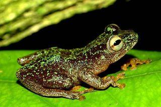 omaniundu-reed-frog-100921-02
