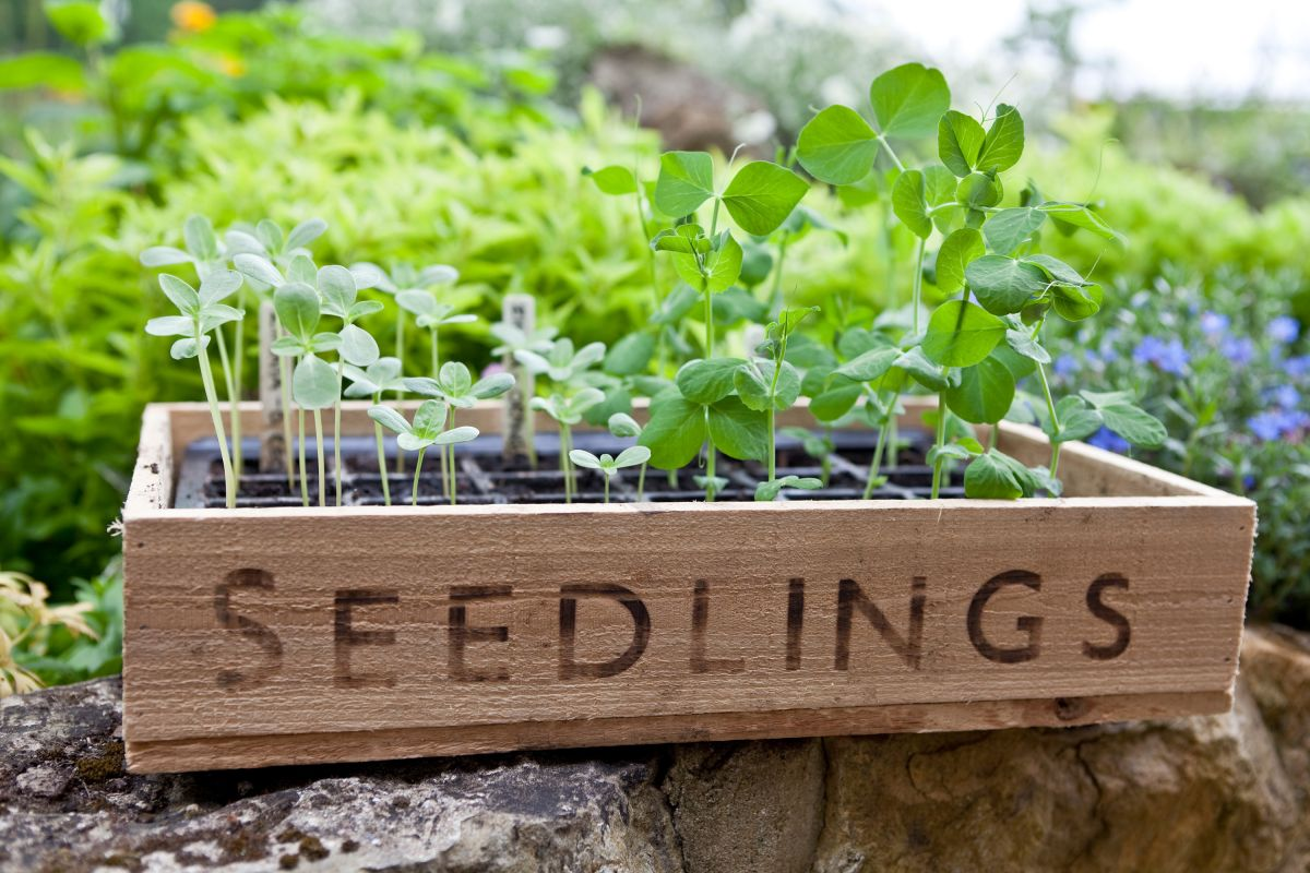 Avoid this common mistake when hardening off seedlings, say gardening experts