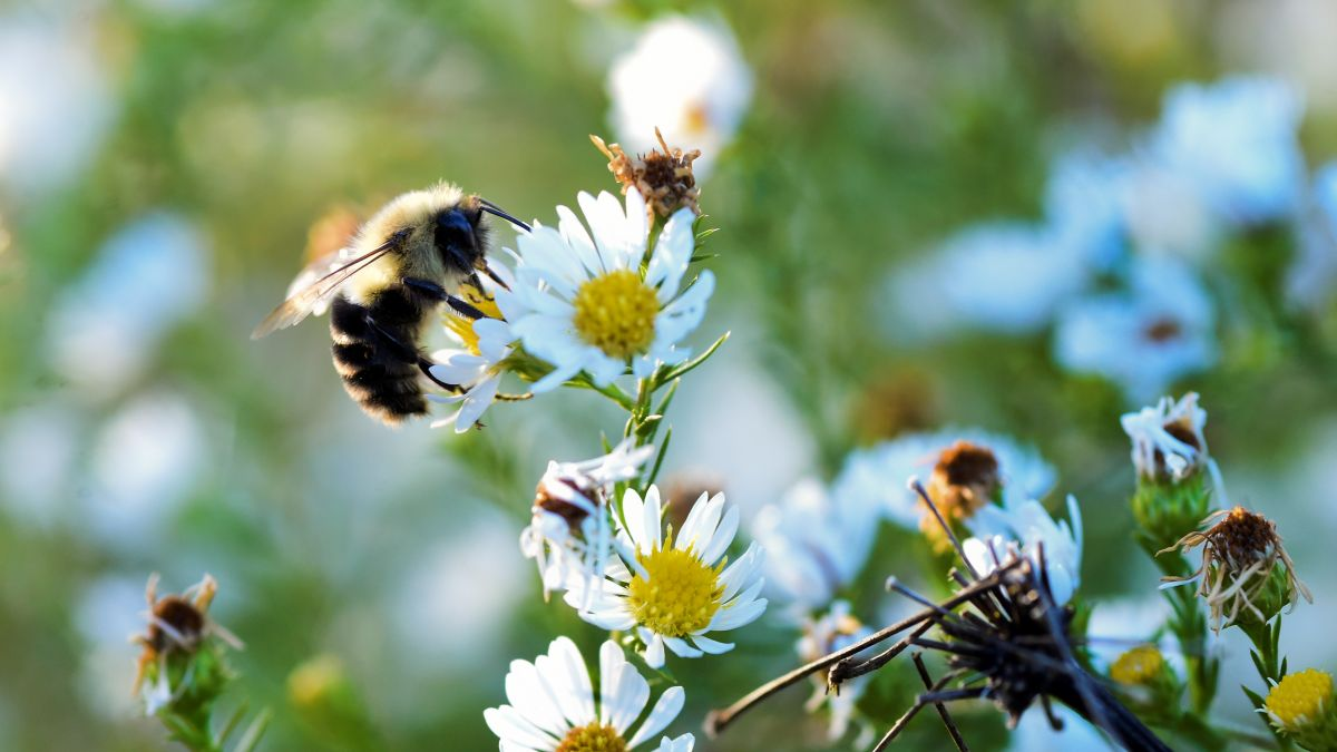 American bumblebee could be officially declared endangered