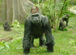 Lowland silverback gorilla zoo, earth day
