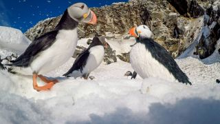 Puffins Spy in the Wild
