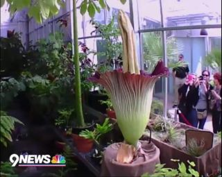 Denver Corpse Flower Blooms