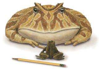 beelzebufo ampinga illustration