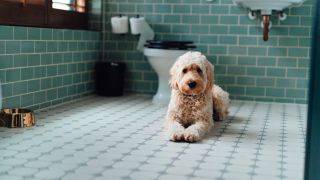 Diarrhea in dogs: Goldendoodle in the bathroom