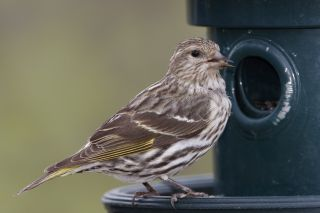 The pine siskin (Spinus pinus) is the species of finch most affected by the outbreak.
